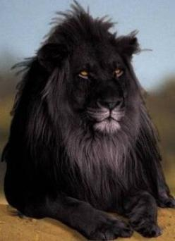 rare black lion.: Black Lions, Rare Black, Wild, Animals, Big Cats, Melanistic Lion, Beautiful, Beauty, Black Lion