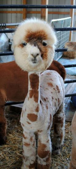 ROFL!!!  SOOOO funny!  An ADORABLE alpaca that has been recently sheared at the That'll Do Farm | Ohio alpaca: Flames, Funny Lama, Alpacas, Funny Haircut, Shaved Alpaca, Shaved Llama, Animal