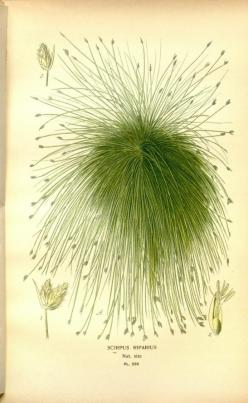 Scirpus riparius, v. 4 - Favourite flowers of garden and greenhouse / - Biodiversity Heritage Library: Biodiversity Heritage, Favourite Flowers, Botanical Prints, Art Botanical 2, Greenhouse, Botanical Illustrations, Charts Flowers Er, Garden, Flower