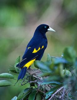 The 'Yellow-rumped Cacique' is a passerine bird in the New World family Icteridae. It breeds in much of northern South America from Panama and Trinidad south to Peru, Bolivia and central Brazil.: Northern South, South America, Beautiful Birds, Yel
