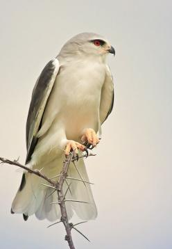 The Black-Shouldered Kite (Elanus axillaris) - Though reported across Australia, they are most common in the south-east and south-west of the mainland.: Black Shouldered Kite, Photos, Outdoorphoto Co Cz, Beautiful Birds, Kites, Animals Birds Raptors, Smal