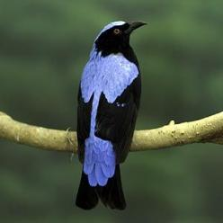 The fairy bluebird is a dimorphic species, meaning that males and females differ in appearance. Male fairy bluebirds display bright blue and black colors, while the female is a duller blue. The brighter colors of the male birds help them attract mates.: F