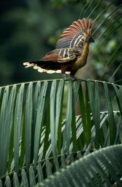 The Hoatzin - a tropical bird from South America: South America, Beautiful Birds, Photo, Tropical Birds, America She S