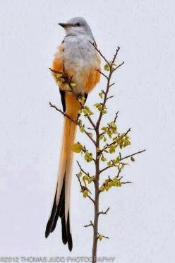 The Scissortail Flycatcher (Tyrannus forficatus), also known as the Texas bird-of-paradise and swallow-tailed flycatcher, is a long-tailed bird of the genus Tyrannus, whose members are collectively referred to as kingbirds. The scissor-tailed flycatcher i