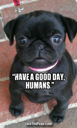 There's no bad day when there's someone this cute to make you smile!: Animals, Pug Puppies, Pug Life, Pet, Black Pug, Pugs Pugs, Dog