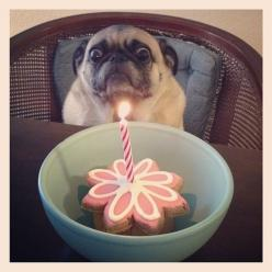 This dog who is just going to stop everything because she actually CANNOT right now. | 33 Dogs That Cannot Even Handle It Right Now: Animals, Happy Birthday, Dogs, Funny Stuff, Humor, Pugs, Things, Funny Animal
