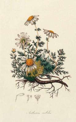 This image embroidered in chain along with other flower designs on a dress would be perfection! #topshoppromdress: Botanical Prints, Botanical Flower Illustration, Botanical Illustrations, Botanical Tattoo, Tattoo Root, Botanical Drawings Flower