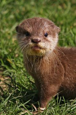 This is one of the cutest baby animals I've ever seen!!! Adorable baby otter.: Babies, Critters, Cuteness, Baby Otters, Creatures, Things, Baby Animals