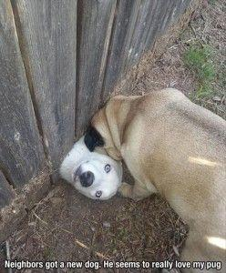 This is so cute! Neighbor dogs found a way to play! I think they need to make a doggy door in that fence! :): Funny Animals, Funny Dogs, Funny Stuff, Humor, New Neighbors, Friend