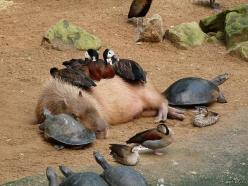 This Is The Best Photo I Ever Seen,  Click the link to view today's funniest pictures!: Picture, Animals, Nature, Creatures, Funny, Animal Friends, Capybara, Photo, Turtle