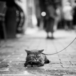 ? This made me think of Snickers! She hated a leash!  His face says it all!: Cats, Face, Animals, Dogs, Funny, Grumpy Cat, Walk, Kitty, Cat Lady