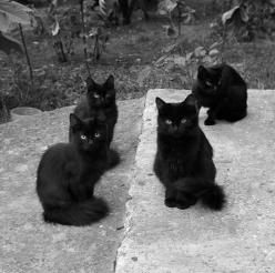 Tumblr: Cats, Animals, Chat Noir, Black Cats, Black Kitties, Beautiful Black, Kitty, Blackcat