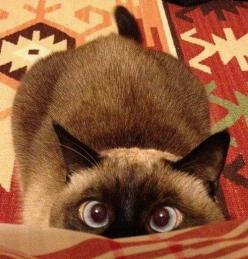 Uh-oh....crazy eyes....Ah's ready to  JUMP!! ...(via Fredrik Hansson): Kitten, Kitty Cat, Siamese Cats, Animals, Funny Cat, Pet, Crazy Cat, Eye