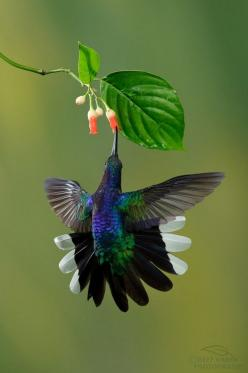 Violet Saberwing (Campylopterus hemileucurus) -  large hummingbird native to southern Mexico and Central America as far south as Costa Rica and western Panama.: Humming Birds, Animals, Nature, Humming-Bird, Hummingbird, Beautiful Birds, Hummingbirds