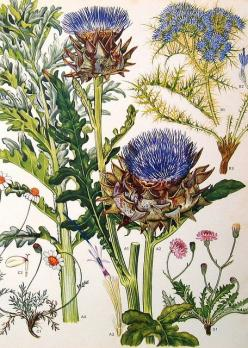 What appears to be a botanical illustration of thistles, chamomile, and chicory.: Botanical Illustration Daija, Botanical Thistle, Vintage Botanical Prints, Botanical Illustrations, Thistles Botanical, Vintage Botanical Illustration, Botanical Illustratio