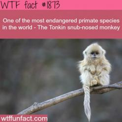 WTF Facts : funny, interesting & weird facts: Animals, So Cute, Pet, Creatures, Adorable, Things, Baby, Snub Nosed Monkey
