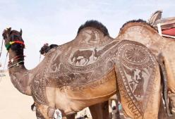 Yearly, Bikaner, in India, Rajasthan, hosts a Camel festival. Camel contests are held where camels are decked out with draping, buckles, saddles and 'tattoos'...their coats are shaved, trimmed, dyed and styled to feature designer 'tattoos'....an engraved