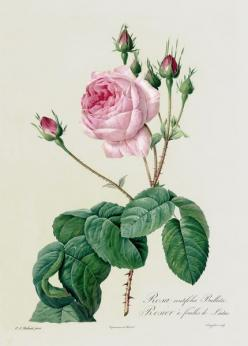 """Rosa Centifolia Bullata, from 'Les Roses', 19th century (coloured engraving"" by Pierre Joseph Redoute; Location: Lindley Library, RHS, London,: Botanical Illustration, Botanical Prints, Cabbage Rose, Roses, Joseph Stone Feared, Flower, Le"
