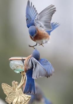 Animals Wildlife Nature Pictures Photography Birds Fish: Bluebirds, Animals, Nature, Wings, Birdie, Beautiful Birds, Blue Birds, Photo