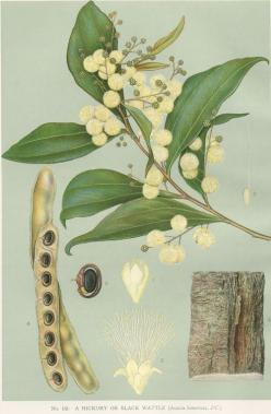 Australian Botanical Illustration    Acacia binervata    Two-veined Hickory   artist: Edward Minchen (1862-1913)   from: 'The Flowering Plants and Ferns of New South Wales - Part 5' (1896)  by J H Maiden,  NSW Government Printing Office: Botanical