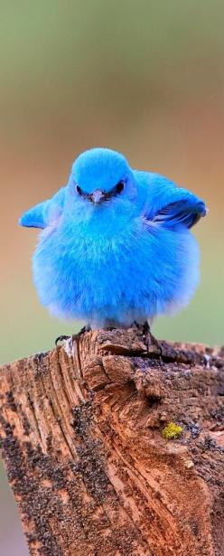 Baby Mountain Bluebird.  ***** Referenced by 1 Dollar Web Hosting  (WHW1.com): WebSite Hosting - Affordable, Reliable, Fast, Easy, Advanced, and Complete.©: Bluebirds, Animals, Beautiful Birds