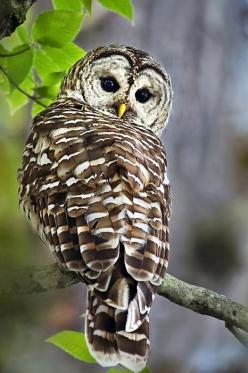 beautiful owl photography: Hoot Owl, Photography Barred Owl, Owl Photography Art, Barred Owls, Owl Photography Barred, Christina Roll, Real Owl, Owls Photography