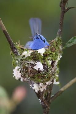 Black-naped Monarch at nest: Black Animal, Birds Nests, Black Naped Monarch