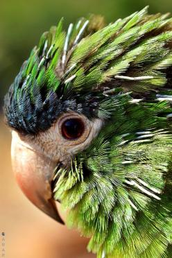 Blue Crowned Conure?  Nope.  Hahns Miniature Macaw.  At 12 inches in length, the Hahn's Macaw is the smallest of all true Macaws...The Noble is a subspecies of the Hahn's and is slightly larger with a horn-colored upper mandible.: Hahns Miniature,