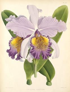 Cattleya × hardyana botanical illustration, 1886.: Art Botanicals, Botanical Flowers, Botanical Prints, Orchids, Botanical Illustrations, Botanical Illustration Orchid, Art Botanical Illustration, Botanical Art, Vintage Botanical