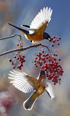 Cedar Waxwings: Birds Birds, Animal Pictures, Nature, Beautiful Birds, John Fish, Bird Photography