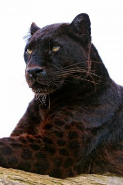 FYI: jaguars are just black leopards . Close up you'll see spots ;.} Beautiful creatures<3: Black Panther, Big Cats, Animals, Black Jaguar, Bigcats, Wild Cats, Panthers, Black Cat