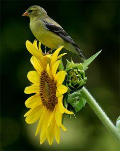 Goldfinch on Sunflower. Our sunflowers attracted one of these to our garden this year and he's stuck around all summer!: Photos, Nature, Sunflowers, Beauty, Beautiful Birds, Garden, Goldfinch, Animal
