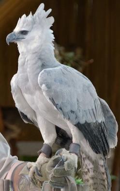 Harpy Eagle -- [Color him red and yellow and you're looking at Fawkes' head, the Phoenix from the Harry Potter films. http://www.harrypotterforseekers.com/symbols/creatures.php]: Animals, Nature, Creatures, Prey, Beautiful Birds, Eagles, Harpyeagl
