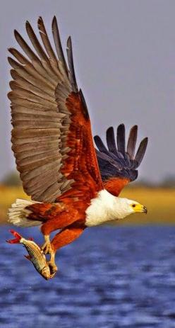 I don't know who this is....do you? I am familiar with many birds of prey, but I have never seen colors like this.: Colorful Birds, Bird Wings Feathers, Birds Of Prey, Birds Eagles, Bald Eagle, Animals Birds, Beautiful Birds