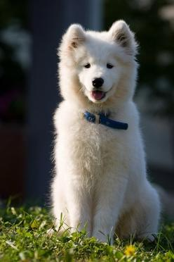 I have been dreaming of this fluff ball, be my puppy and best friend and let me love you forever <3: Face, Animals, Samoyed Puppies, Pets, Puppys, Friend, Beautiful Dogs