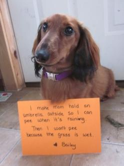 """I make mom hold an umbrella outside so I can pee when it's raining. Then I won't pee because the grass is wet."" Love, Bailey.: Dogs, Dog Shaming, Pet, Funny, Doxie S, Animal"