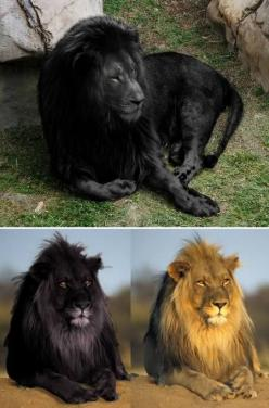 In recent weeks, two very stunning black lion photographs have been circulating online. Why they attract such interest is that according to mainstream zoology, black lions simply do not exist. If they did, and were wholly black in colour, they would most