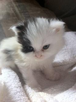itty bitty kitty: Kitty Cats, Kitten, Meow, Pets, Adorable, Baby Animals, Kittens, Kitties, Baby Cat