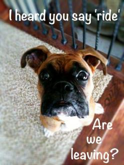 lol ...all you have to do is think about it at my house...she's a mind reader!: Boxer Dogs Funny, Face, Animals, Boxerdogs, Pet, Boxers, Puppy, Boxer Babies