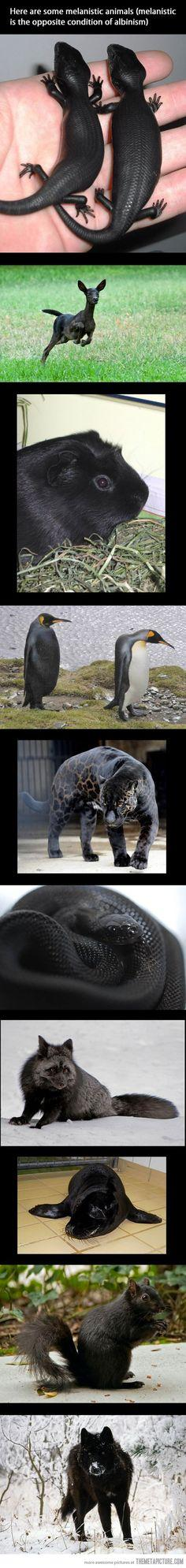 melanistic animals- I feel stupid for not knowing this condition existed. I mean, since there is an opposite for nearly everything- why not albinism?: Pet Snake, Awesome, Beautiful, Melanistic Animals