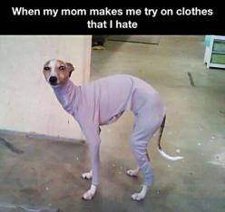 Might consider this if I get another greyhound. Would keep the legs, belly & butt clean when running 80km/h through the mud!: Animals, Dogs, Clothes, Funny Pictures, So True, Funny Stuff, Humor, Funnies