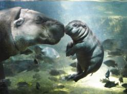 Mortgage Supermart Singapore - Independent Advisory l Loans Brokerage Solutions l Service Excellence l Your Interest is our Interest!  http://www.sgmortgagesupermart.com  http://www.sgmortgagesupermart.com/apps/blog: Babies, Baby Hippo, Mother, Nature, Hi