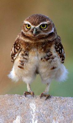 "Owlet: ""Do you like my 'feathery' short trousers?"""