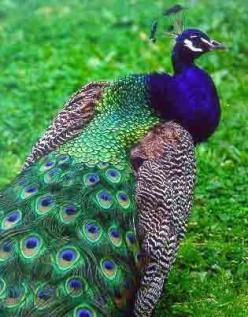 Peacock...we raised them....Before their feathers get their color, they look like young buzzards!!: Peacock Feathers, Peacocks, Animals, Colors, Google Search, Pretty Peacock, Beautiful Birds, Things Peacock