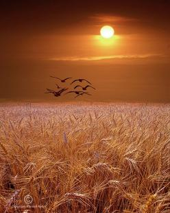 photo by Randy Nyhof Fine Art Photography - Available at www.etsy.com/listing/67909735/photograph-of-gulls-flying-over-a-wheat: Birds Flying Photography, Wheatfield Sunset, Amber Waves, Sunsets Sunrises, Beautiful Sunset, Sunrise Sunset, Wheat Fields