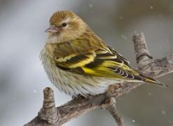 Pine Siskin - These cute little birds are smaller than a house finch and have a sweet little twitter.: Twitter, Sweet, Winter, Little Birds, Pine Siskins, House Finch, Backyard Birds, Allaboutbirds Org
