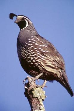 Quail! I miss them. Especially the chics and how they scurry behind mom and dad.: Backyard Birds Wild, Birdie, Favorite Quails, Animals Birds, Beautiful Birds, Animals 3, Bird Watching, Bird Favs, Animals God S Beauties