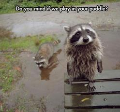 Raccoon Puppy Face: Racoon, Face, Animals, Pet, Raccoons, Creatures, Funny Animal, Things