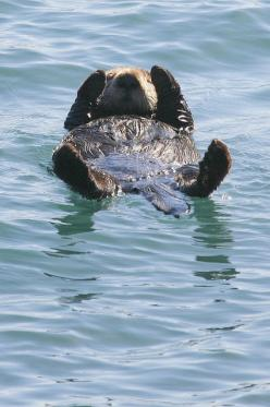 Sea otter. What a life!: Animals Galore, Seaotters, Cuteness, Animals Otter, File Sea Otter Morro Bay, Creatures, A Z Animals, Sea Otters, Animals Critters Sealife Etc