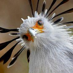 Secretary bird - The crown made of feathers and the long black eyelashes over the bright orange skin is a spectacular sight.: Picture, Animals, Bird Sagittarius, Beautiful Birds, Photo